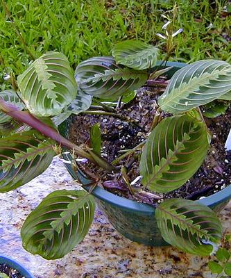 Free prayer plant totally free for Prayer palm plant