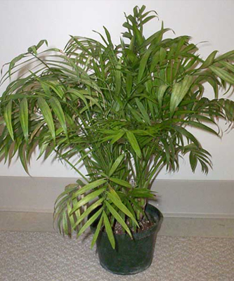 Free Parlor Palm Totally Free