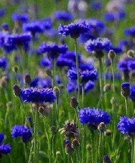 Cornflower or Bachelor's Button (Centaurea cyanus)