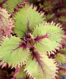 Coleus, sun-loving with blended leaf