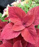 Coleus, sun-loving with solid leaf color